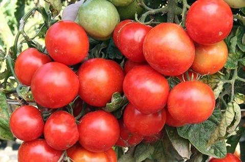 Томат садик f1: описание и характеристика сорта, выращивание и урожайность с фото