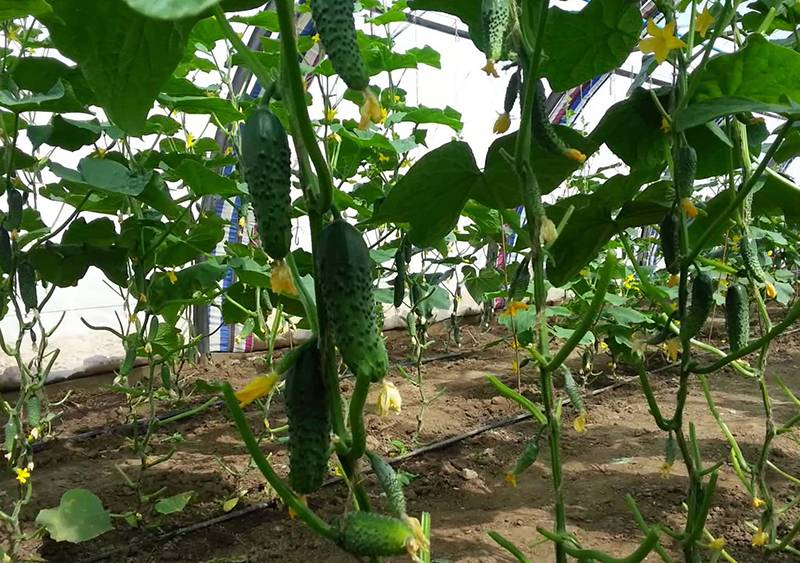 Огурец маша f1: выращиваем ранний и урожайный гибрид