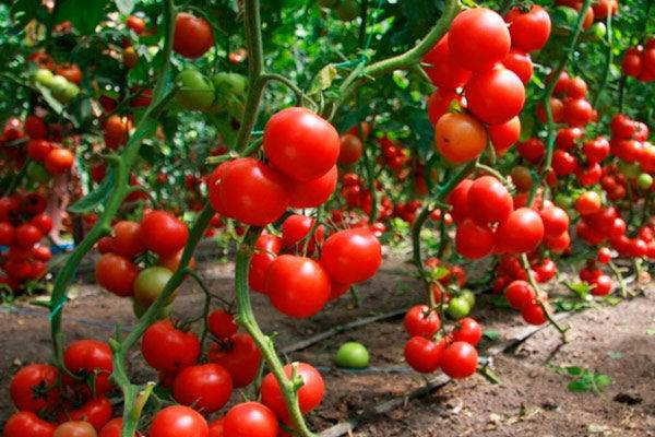 Урожайный и очень красивый томат ананас зебра: описание сорта и советы по уходу