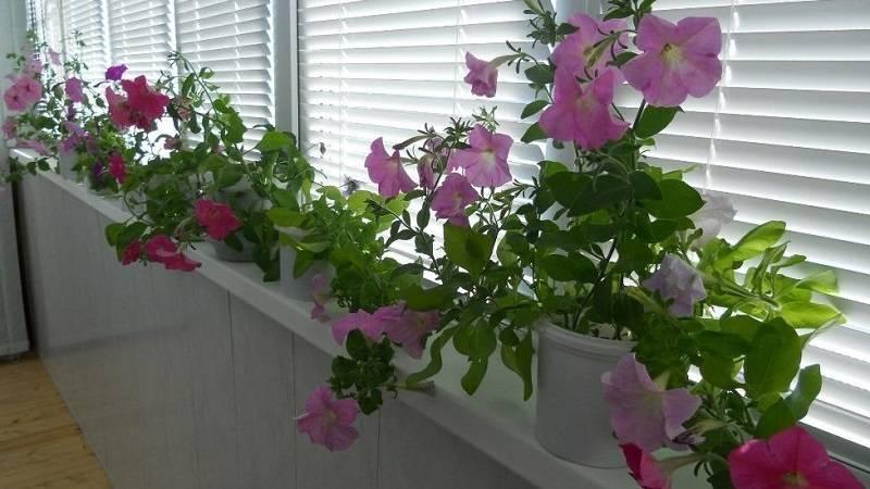 Петунья в квартире зимой. можно ли выращивать петунию как комнатное растение зимой