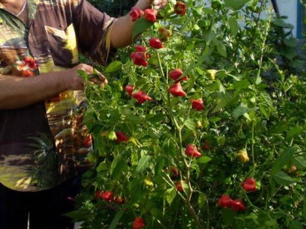 Характеристика и описание сорта перца колокольчик, выращивание и уход