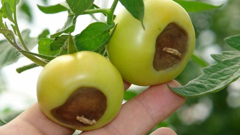 Чернеют зеленые помидоры, что делать. что делать, если чернеют помидоры