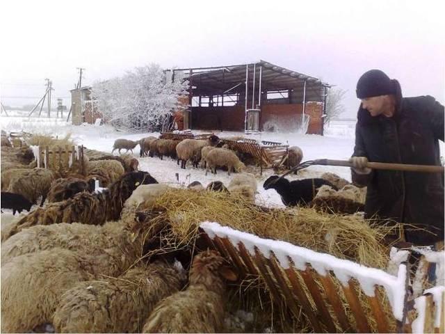 Чем кормить овец: подробный рацион и особенности кормления
