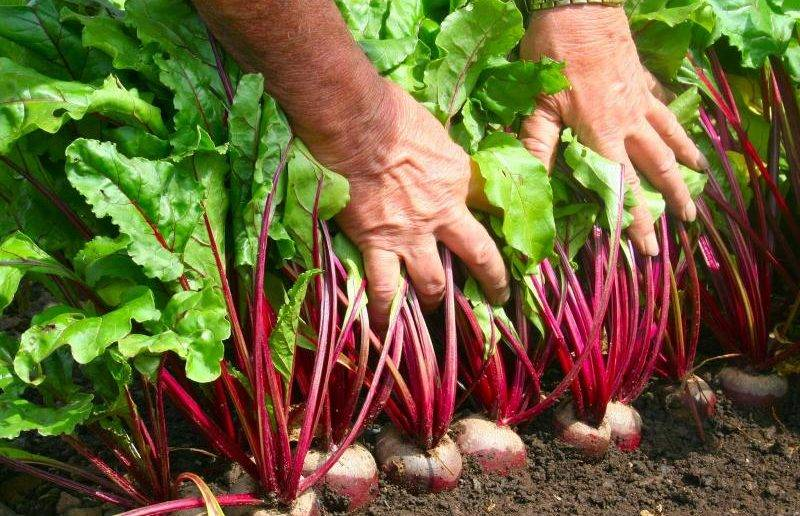 Популярные сорта кормовой свеклы. агротехника выращивания, сбор и хранение урожая