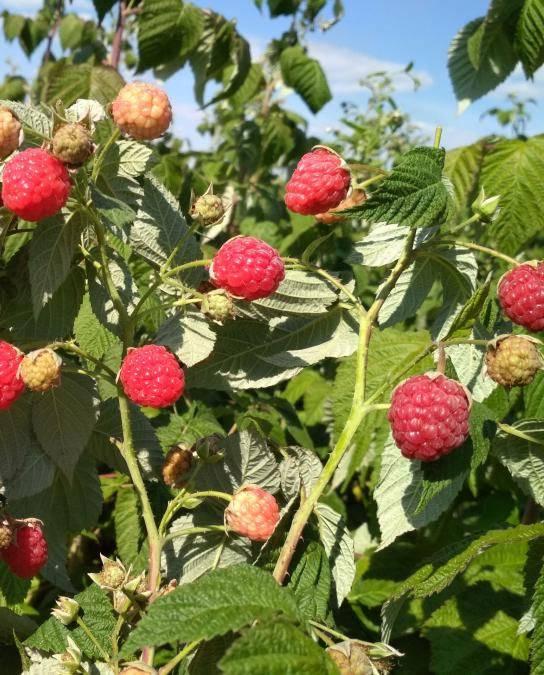 Малина геракл: растим высокоурожайного гиганта на грядке