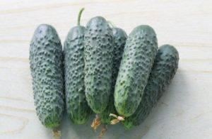 Чем хорош гибрид огурцов «пасалимо f1» и почему его стоит попробовать вырастить