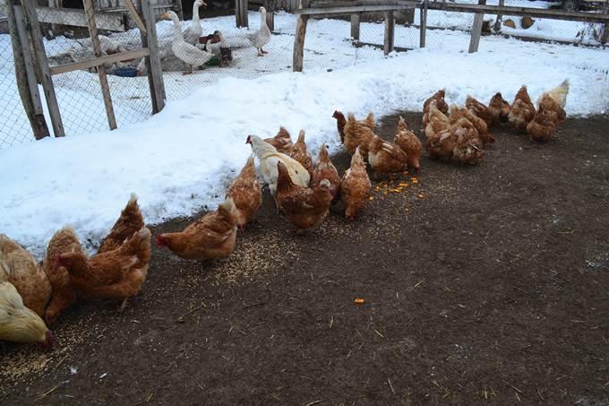 Сколько яиц несет курица несушка в месяц?