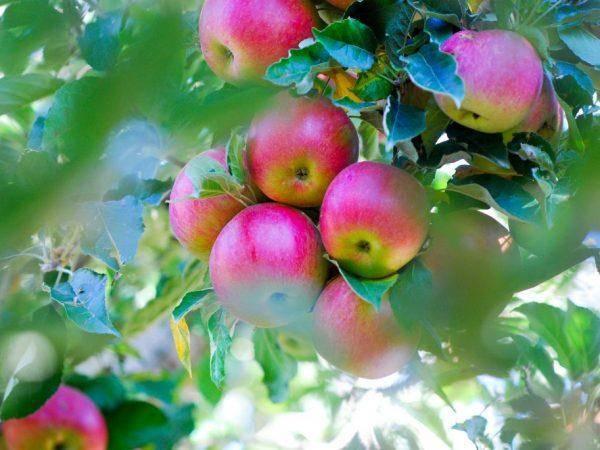 Боровинка — сорт яблок, популярный в россии и за рубежом