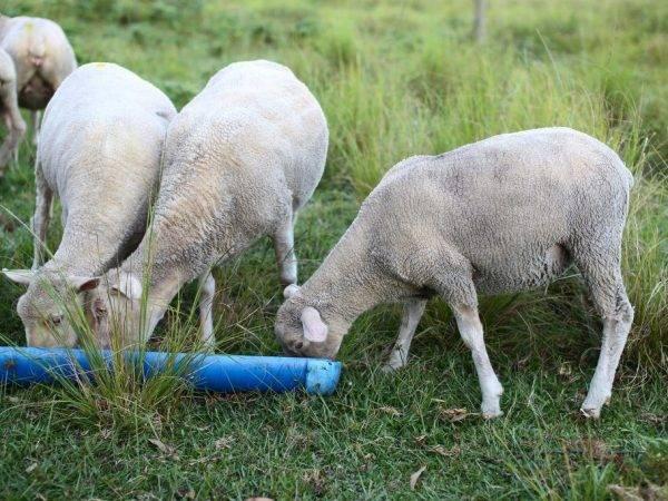 Дает ли овца молоко?