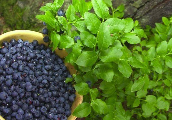 Как в домашних условиях вырастить чернику из семян, правила посадки и ухода