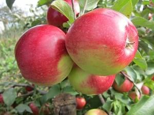 Яблоня «чемпион» — описание сорта и агротехника выращивания