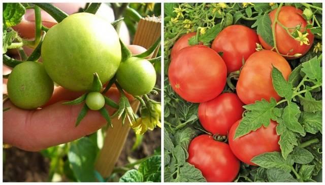 Характеристика и описание сорта томата дикая роза, выращивание