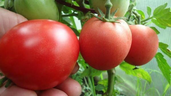 Сорт томата «демидов»: описание и характеристика среднеспелых помидоров
