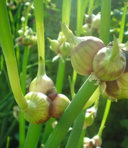 Лук многоярусный: выращивание и размножение
