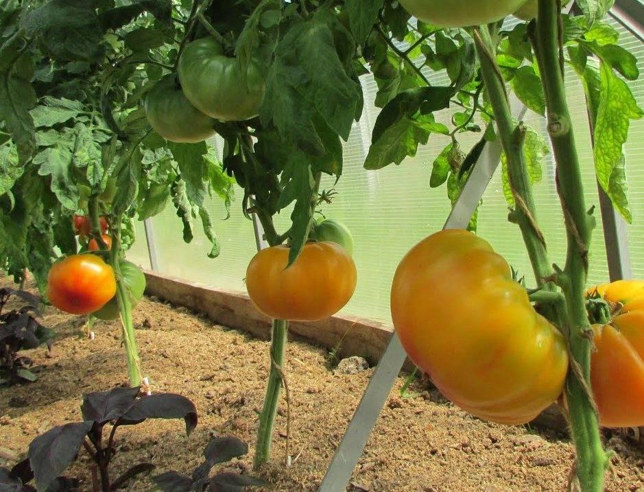 Засухоустойчивый и высокоурожайный сорт (гибрид) томата «слот f1»: описание, характеристика, посев на рассаду, подкормка, урожайность, фото, видео и самые распространенные болезни томатов