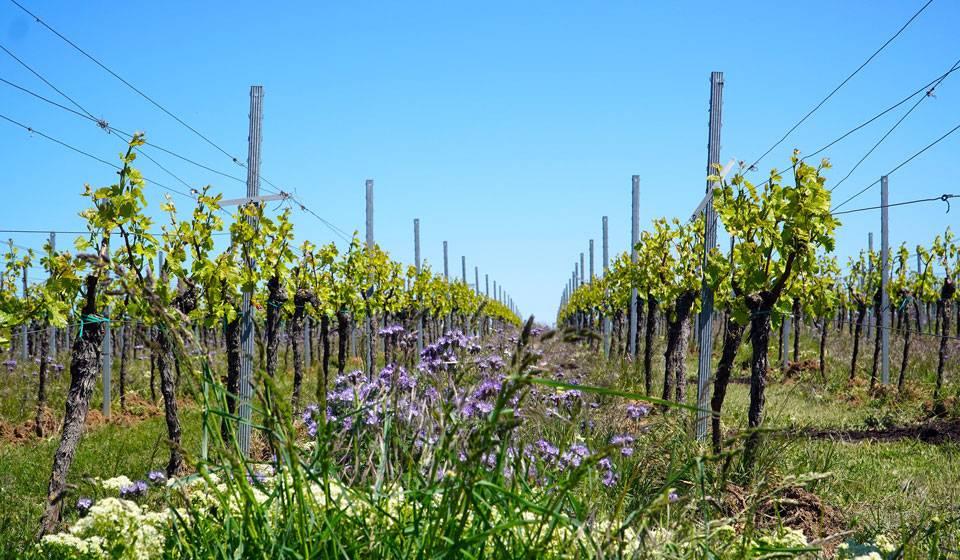 Виноград — как сажать и ухаживать в открытый грунт, посадка и уход для новичков