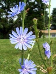 Цикорий: полезные свойства и противопоказания растения, от чего помогает