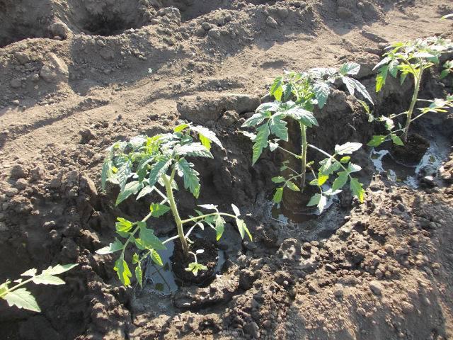 Метод терехиных по выращиванию томатов