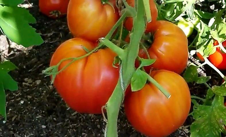 Томат восток f1: описание и характеристика сорта, урожайность с фото