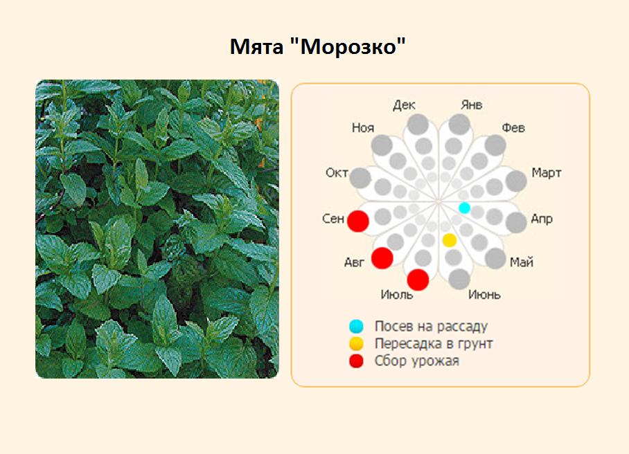 Описание сорта марокканской мяты, особенности выращивания и ухода