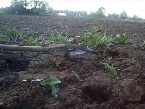 Уничтожение осота на картофельном поле