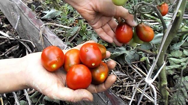 Томат «клуша»: характеристики сорта, особенности выращивания