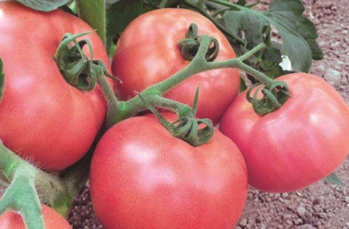 Характеристика и описание гибрида томата оля f1, выращивание