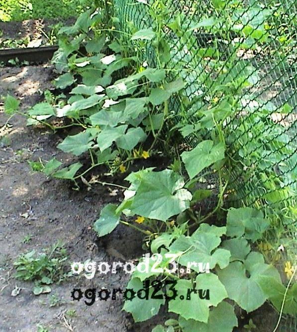 Шпалера — секрет больших урожаев огурцов с маленькой грядки