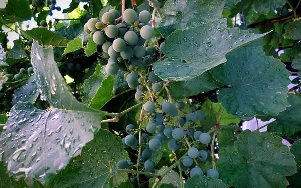 Обработка винограда весной и летом 2019 года: подробная виноградная шпаргалка по защитным обработкам от болезней и вредителей на каждом этапе роста, эффективные средства на любой случай