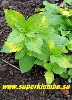 Растение гаура как выращивать из семян на рассаду фото видов и сортов