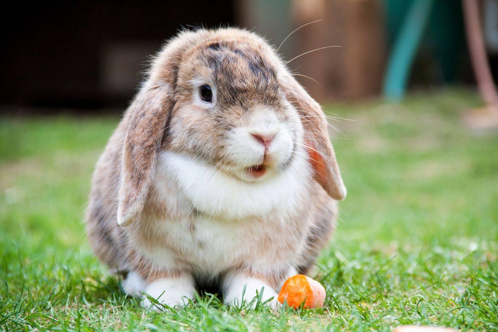 Разведение кроликов французский баран в домашних условиях