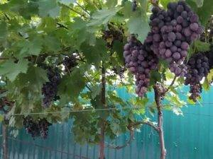 Гибридная форма столового винограда заря несветая — посадка и уход
