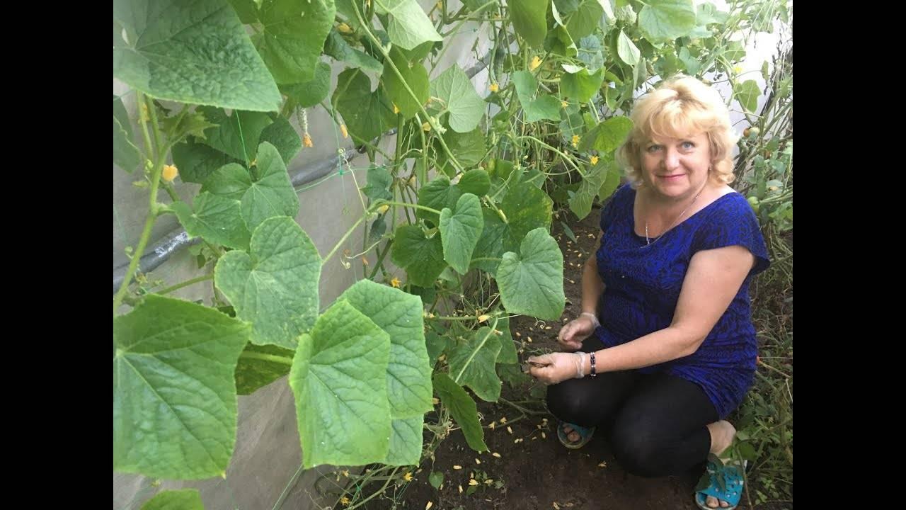 Правила обрезки огурцов в теплице чтобы был хороший урожай