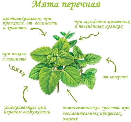 Лечебные свойства и противопоказания перечной мяты