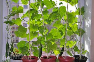 Балконные огурцы: технология посадки и выращивания