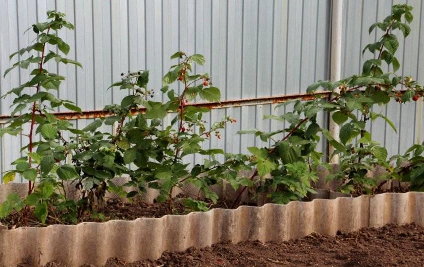 Как выбрать сроки и правильно пересадить малину весной и осенью