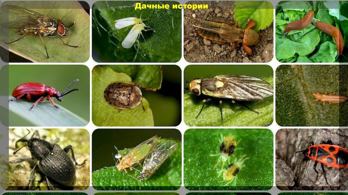 Инсектицид актара, как применять