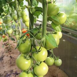 Сорт томата «яблочный спас»: фото, отзывы, описание, характеристика, урожайность