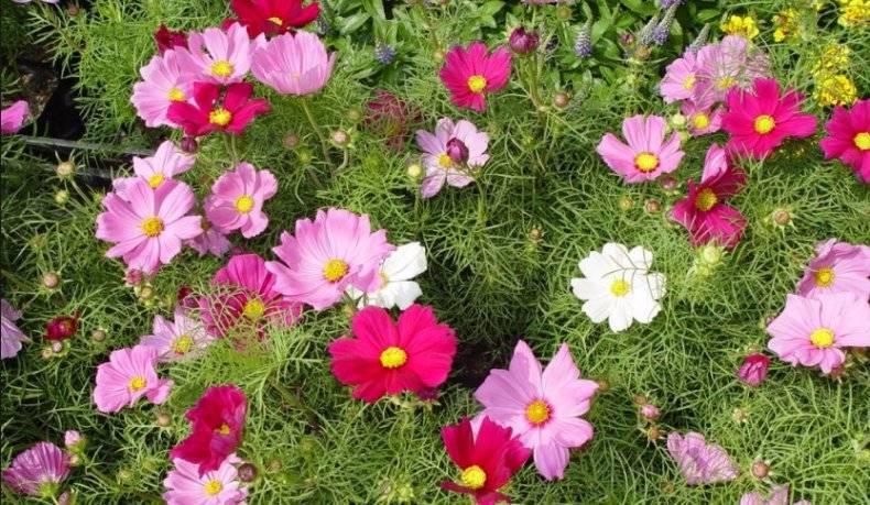 Посадка космеи и выращивание в саду, уход за ней