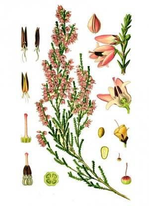 Вереск — лечебные свойства и противопоказания