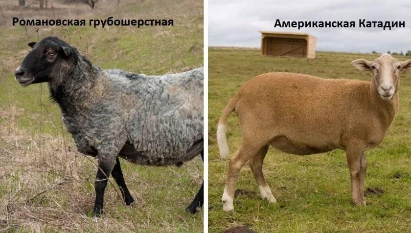 Особенности содержания овец породы прекос, правила кормления и преимущества породы
