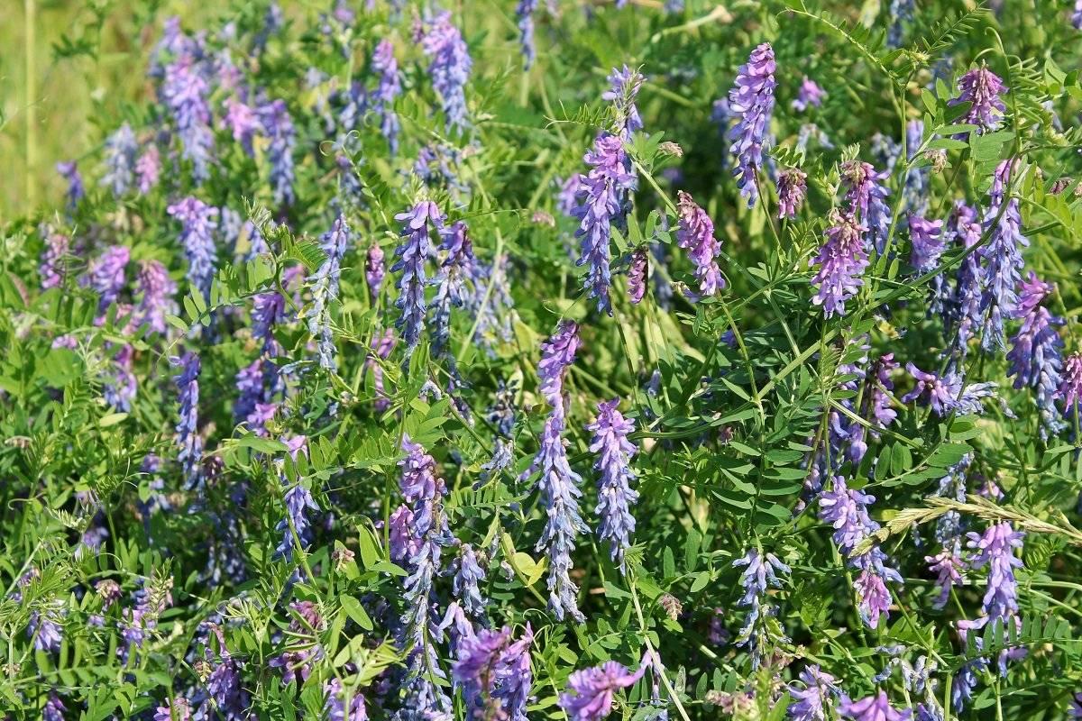 Описание растения вика посевная яровая, как используют и особенности посадки