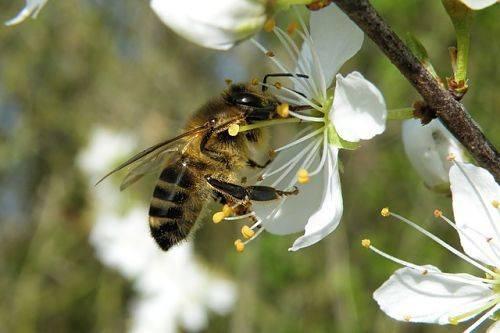 Весенняя обработка вишни от вредителей и болезней