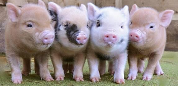 «я живу в квартире с карликовой свиньей»