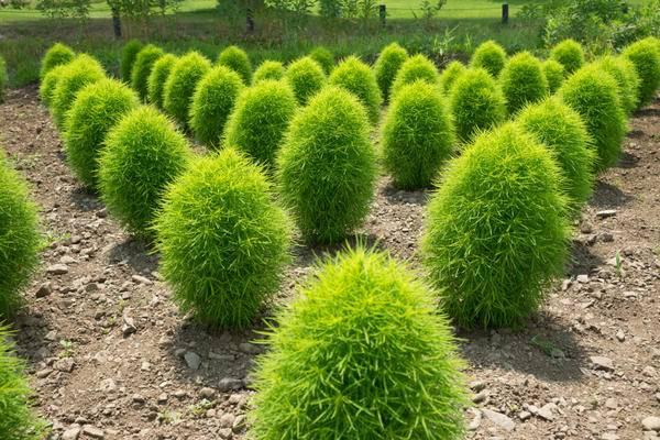 Кохия или бассия посадка и уход в открытом грунте выращивание из семян фото в ландшафтном дизайне