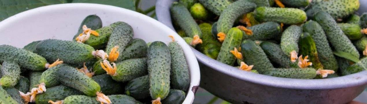 Как посадить и вырастить огурцы сорта «семкросс»