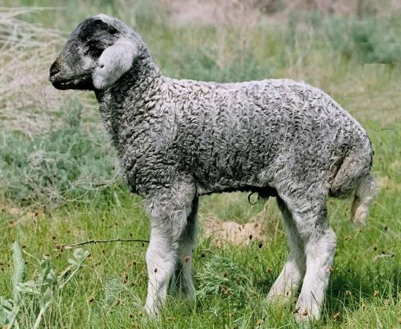 Каракульская овца