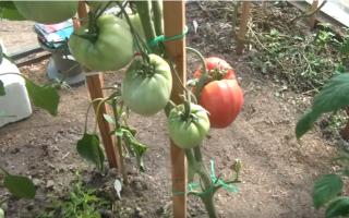 Томат олеся: характеристики и описание сорта, урожайность, фото