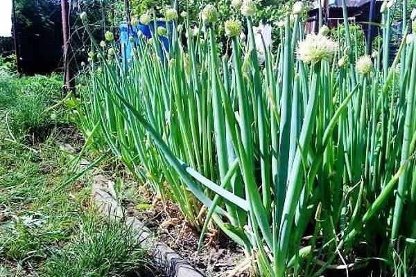 Лук слизун: фото и выращивание дома