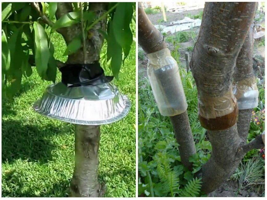 Ловчие пояса на плодовых деревьях своими руками. 100% способ борьбы с насекомыми на деревьях.